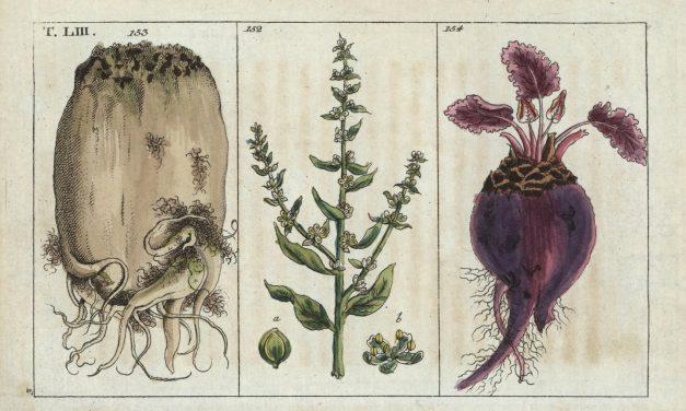 Medicinale geschiedenis van de rode biet, deel 1